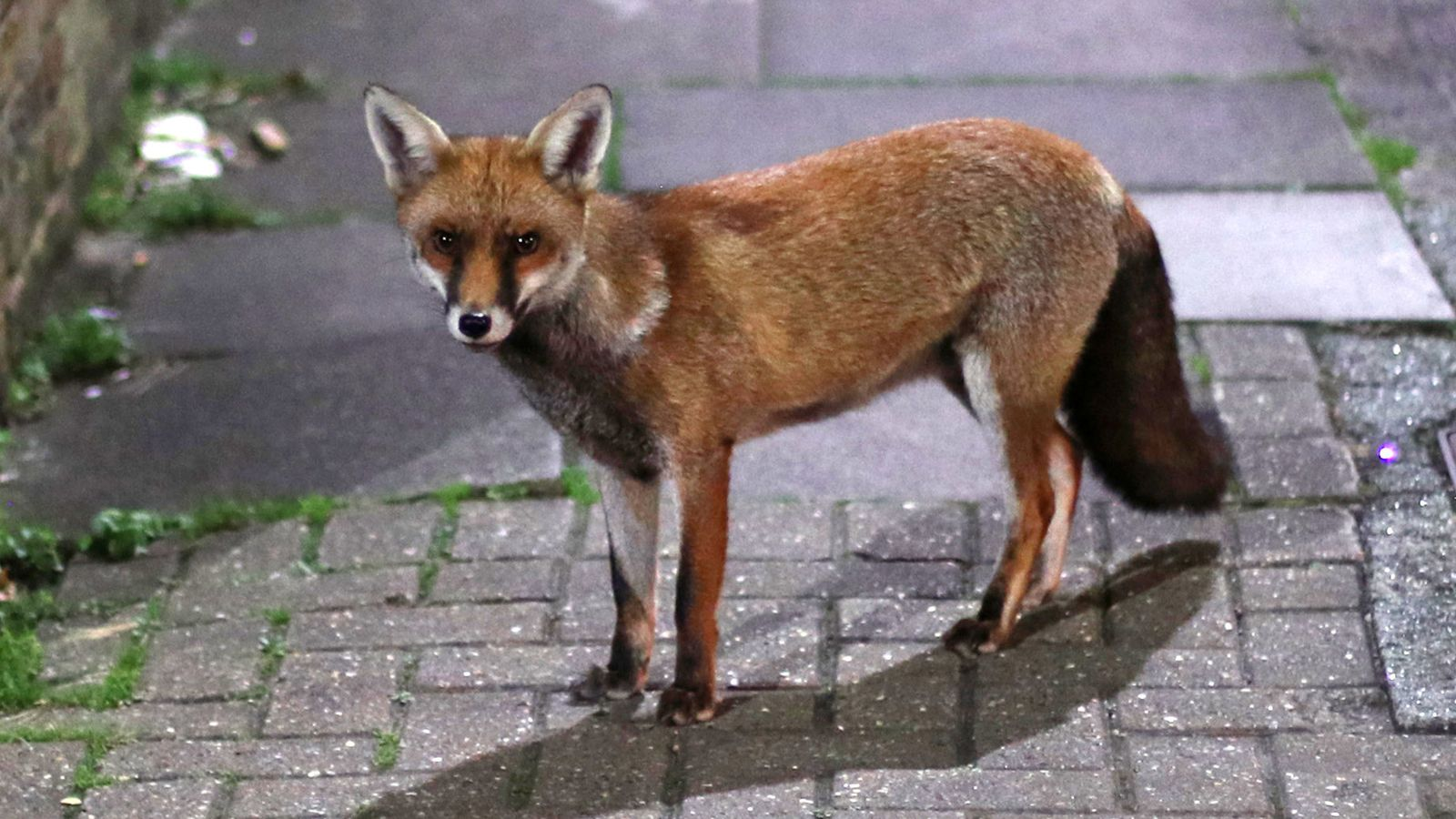 Urban fox evolution 'suggests how dogs became domesticated' - Sky News