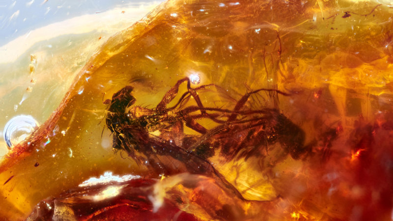 Mating flies found in huge cache of Australian amber - WAtoday