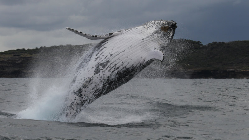 Superheroes of the deep: humpbacks bounce back from near extinction to help fight climate change - Sydney Morning Herald