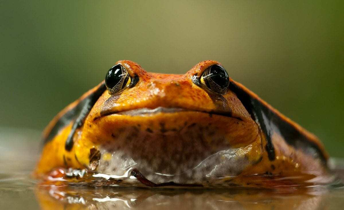 Skulls gone wild: How and why some frogs evolved extreme heads - HeritageDaily
